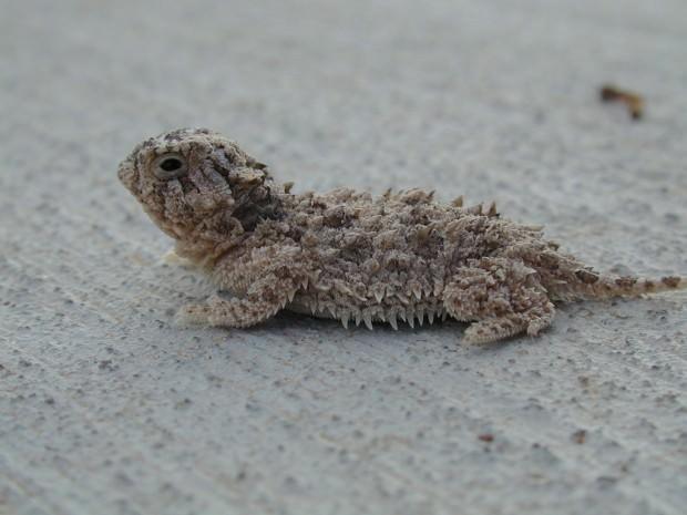 Жабовидная ящерица или фринозома (лат. Phrynosoma)(англ. Horned lizards, Blood Squirting Lizard)