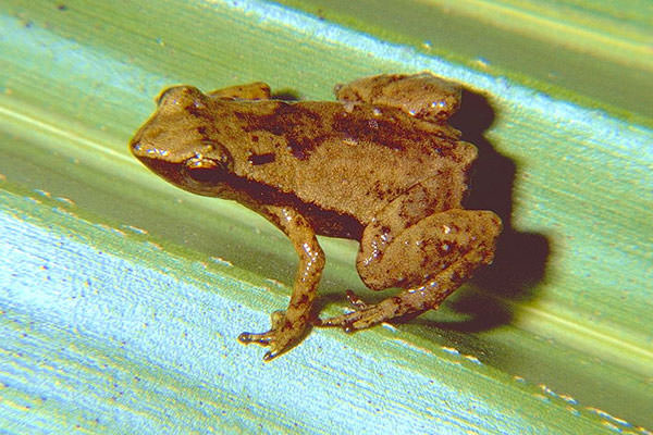 Сейшельская пальмовая лягушка - один из близких родственников пурпурной лягушки
