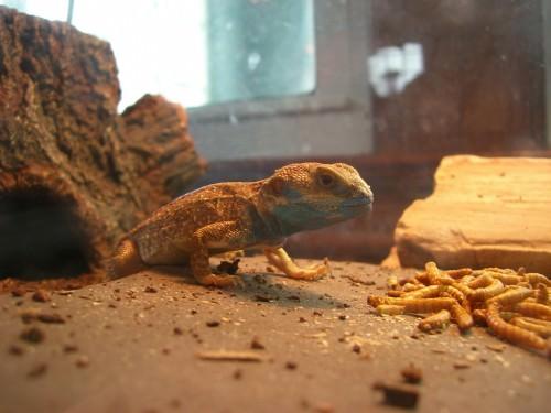 Агама причудливая Тейлора или щитохвост (лат. Xenagama taylori) (англ. Taylor's Strange Agama, Dwarf Shield-Tailed Agama)