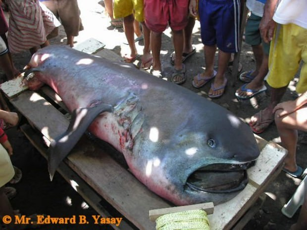Большеротая акула (лат. Megachasma pelagios) (англ. Megamouth shark)