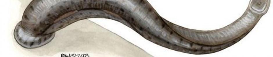 Амазонская пиявка Haementeria ghilianii (лат. Haementeria ghilianii)(англ. Giant Amazon leech)
