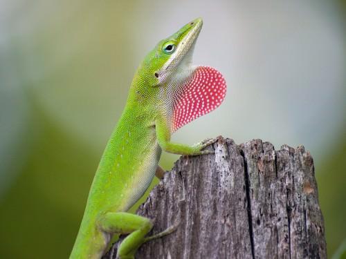 Анолис каролинский или анолис красногорлый (лат. Anolis carolinensis) (англ. American anole, Green anole, Carolina anole)