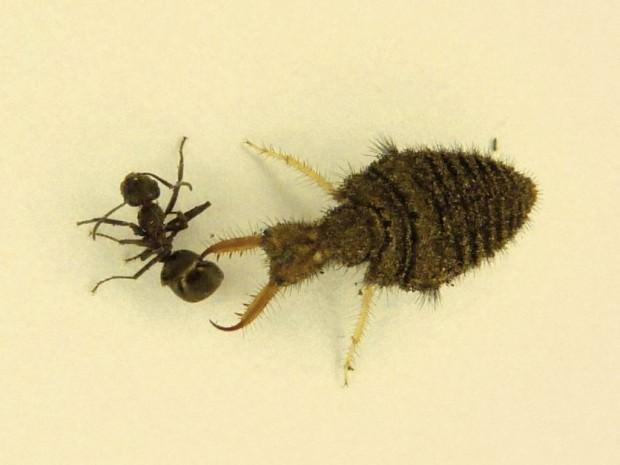 Муравьиный лев обыкновенный (лат. Myrmeleon formicarius) (англ. Ant lion)