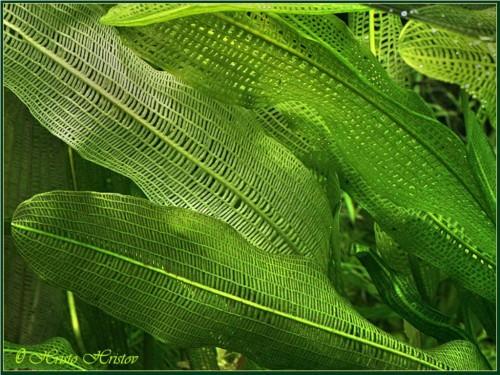 Апоногетон мадагаскарский или сетчатый (лат. Aponogeton madagascariensis) (англ. Madagascar Lace Plant)