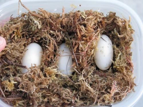 Аргентинская гидромедуза или змеиношейная черепаха Коупа (лат. Hydromedusa tectifera) (англ. Argentine Snake-necked Turtle)