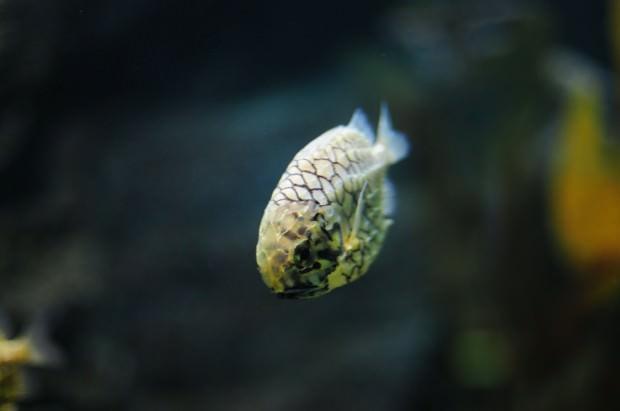 Австралийский шишечник или рыба-ананас (лат. Cleidopus gloriamaris) (англ. Pineapple fish)