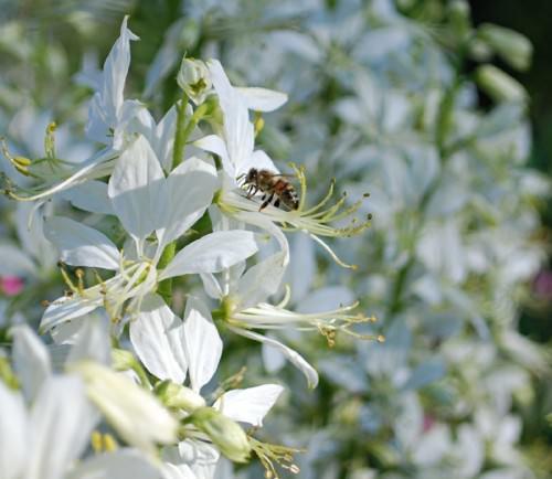 Белый ясенец  или дикий бадьян (лат. Dictamnus albus) (англ. Gas Plant)