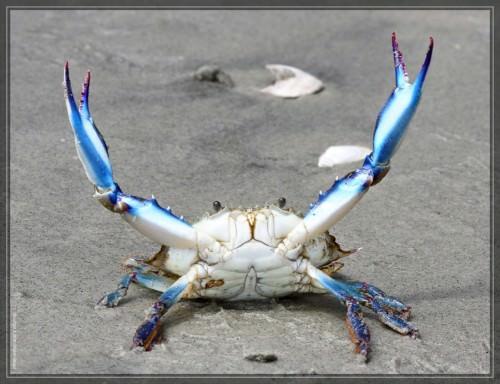 Голубой краб-плавунец (лат. Callinectes sapidus) (англ. Blue crab)