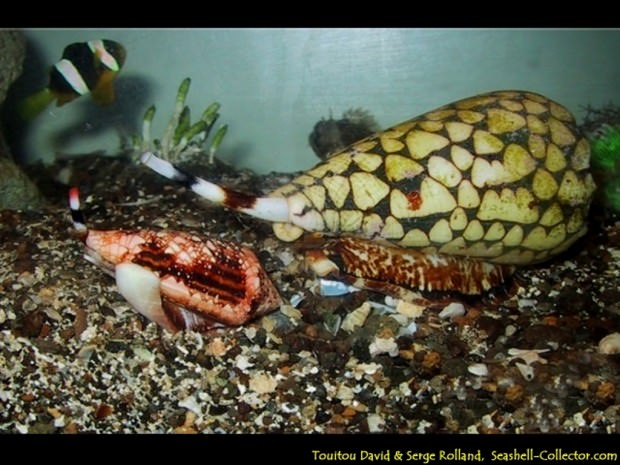 Ядовитые моллюски Конус (лат. Conidae) (англ. Conus)