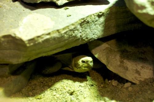 Эластичная плоскопанцирная черепаха или восточно-африканская черепаха (лат. Malacochersus tornieri ) (англ. African Pancake Tortoise)