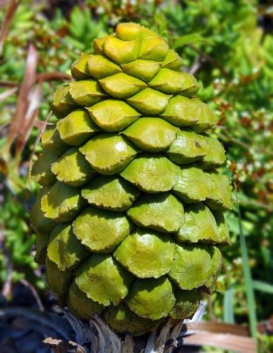 Энцефаляртос кафрский (лат. Encephalartos caffer)