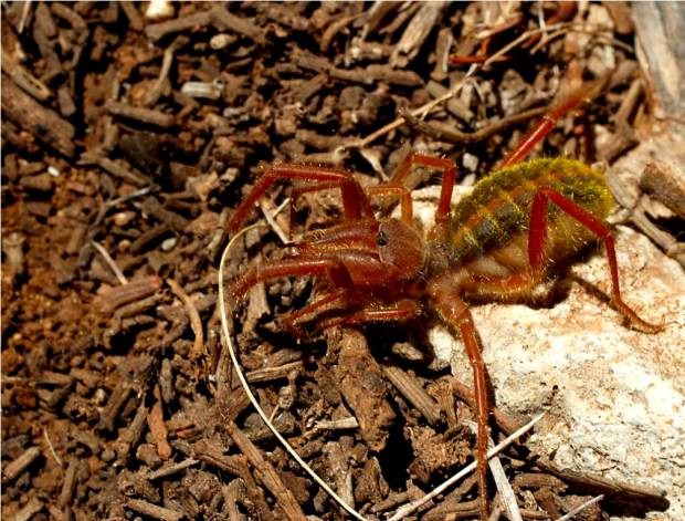 Фаланги или сольпуги (лат. Solifugae) (англ. Сamel spider, Wind scorpion)
