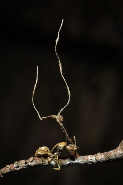 Кордицепс однобокий (лат. Ophiocordyceps unilateralis) (англ. Cordyceps Fungis)