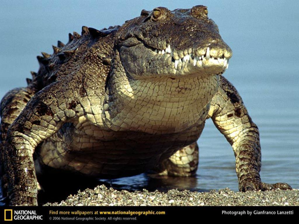 крокодил перед охотой скачать