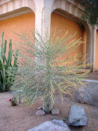 Идрия колонновидная или биджум (лат. Idria columnaris) (англ. Boojum tree)