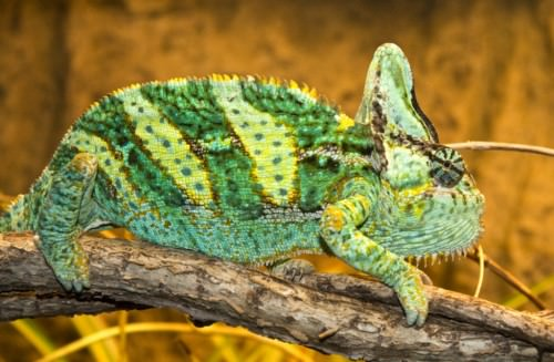 Йеменский или шлемоносный хамелеон (лат. Chamaeleo calyptratus)(англ. Veiled Chameleon)