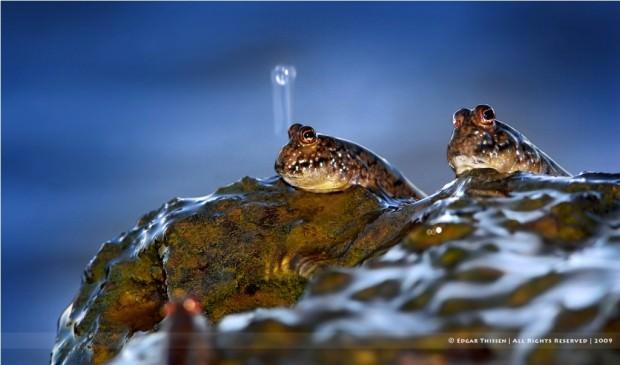 Илистый прыгун (лат. Periophthalmus) (англ. Mudskipper)