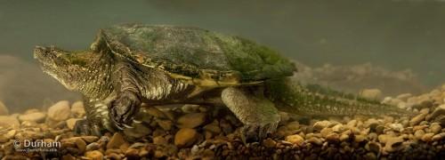 Каймановая черепаха (лат. Chelydra serpentina) (англ. Snapping Turtle)