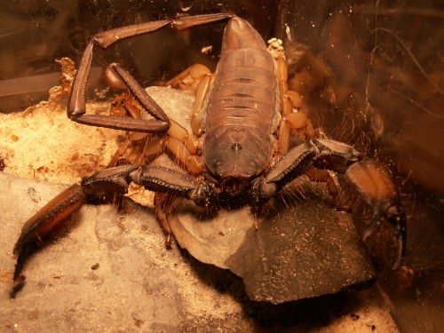 Каменный скорпион или африканский скорпион (лат. Hadogenes troglodytes) (англ. Flat Rock Scorpion)