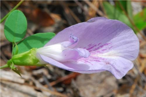 Клитория (лат. Clitoria)(англ. Butterfly Pea)