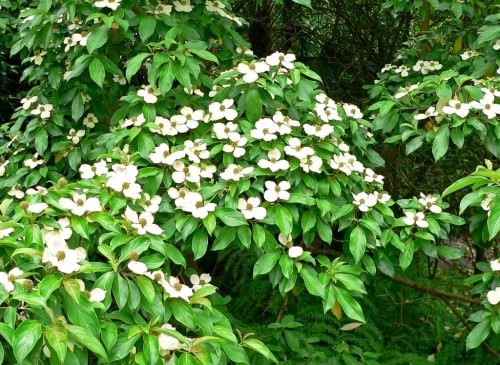 Клубничное дерево или кизил головчатый (лат. Cornus capitata)