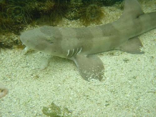 Акула кошачья коричневополосая (лат. Chiloscyllium punctatum) (англ. Banded shark, Brown-banded cat shark, Brown-banded bamboo shark)