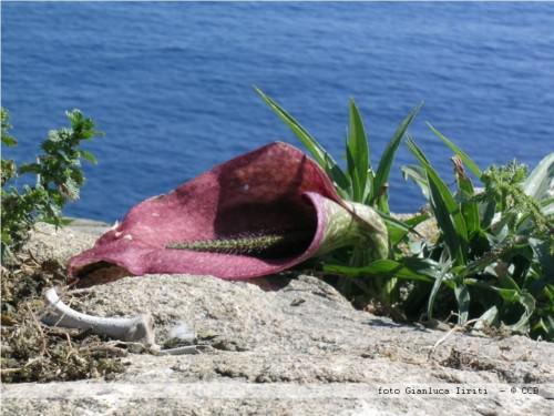 Лилия геликодицерос мусциворус (лат. Helicodiceros muscivorus) (англ. Dead horse arum lily)