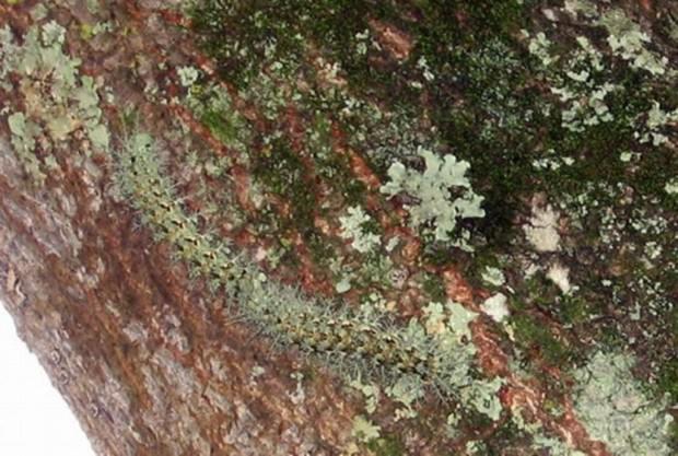Гусеница рода лономия или гусеница «ленивый клоун» (лат. Lonomia Obliqua) (англ. Caterpillar Lonomia Obliqua)