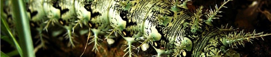 Гусеница рода лономия или гусеница «ленивый клоун» (лат. Lonomia Obliqua)