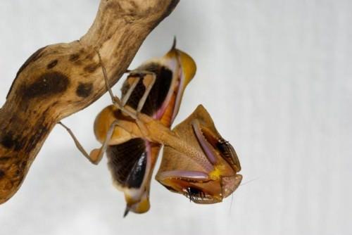 Малазийский листовидный богомол (лат. Deroplatys desiccata) (англ. Dead Leaf Mantis)