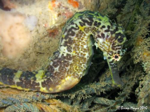 Желтый или пятнистый морской конек (лат. Hippocampus kuda) (англ. Estuaru seahorse, Spotted seahorse, Yellow sea horse)