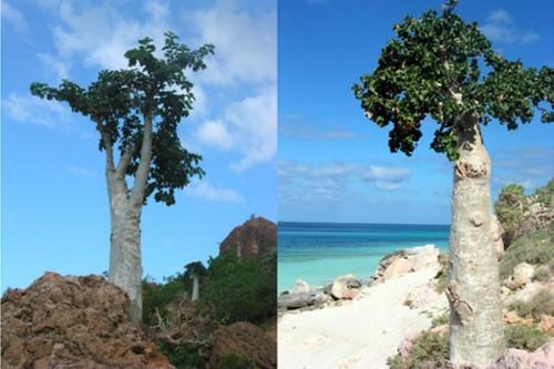 Огуречное дерево или дендросициос сокотранский (лат. Dendrosicyos socotrana) (англ. Cucumber tree)