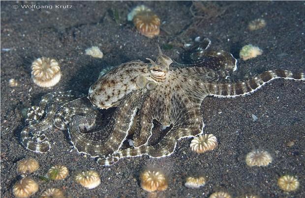 Мимический индонезийский осьминог (лат. Thaumoctopus mimicus) (англ. Mimic Octopus)