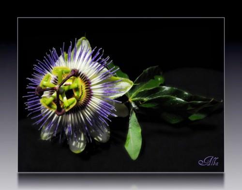 Пассифлора или страстоцвет (лат. Passiflora) (англ. Passiflora)