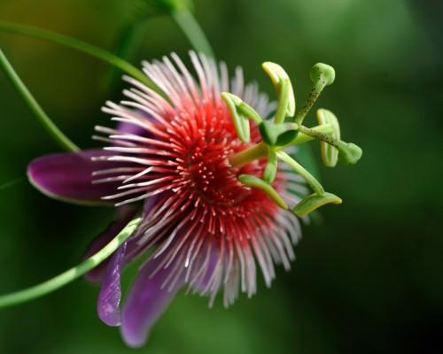 Пассифлора или страcтоцвет (лат. Passiflora) (англ. Passiflora)