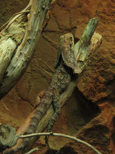 Плащеносная ящерица (лат. Chlamydosaurus kingii) (англ. Frilled lizard, Frill-necked Lizard)