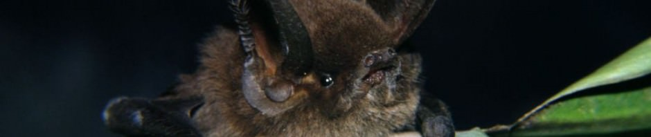 Мадагаскарский присосконог или мизопа (лат. Myzopoda aurita) (англ. Sucker-footed Bat)