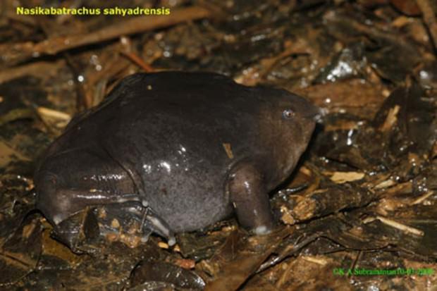 Пурпурная лягушка или лиловая лягушка (лат. Nasikabatrachus sahyadrensis) (англ. Purple frog)