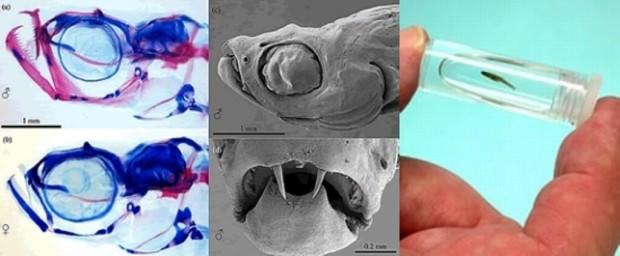 Рыба-дракула (лат. Danionella dracula) (англ. Dracula fish)