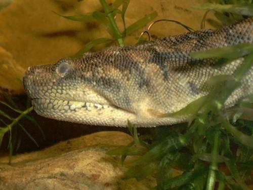Яванская бородавчатая змея или змея «слоновый хобот» (лат. Acrochordus javanicus) (англ. Elephant Trunk Snake)