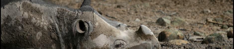 Суматранские носороги (лат. Dicerorhinus sumatrensis)