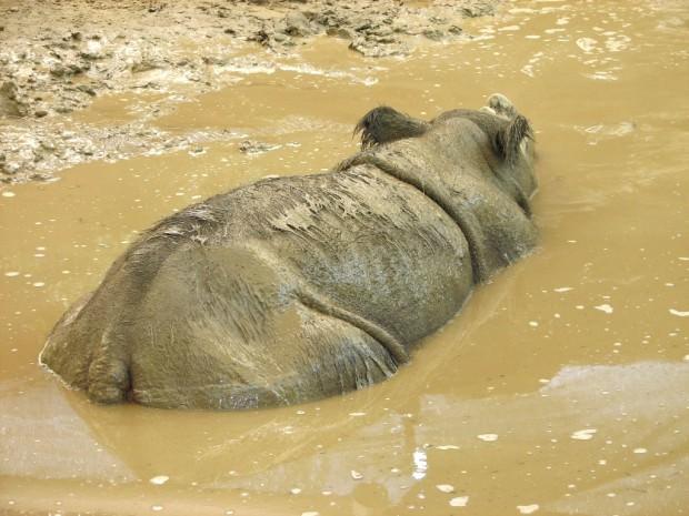 Суматранские носороги (лат. Dicerorhinus sumatrensis) (англ. Sumatra-Nashorn, Sumatran rhino)