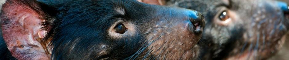 Тасманийский дьявол или сумчатый черт (лат. Sarcophilus laniarius)