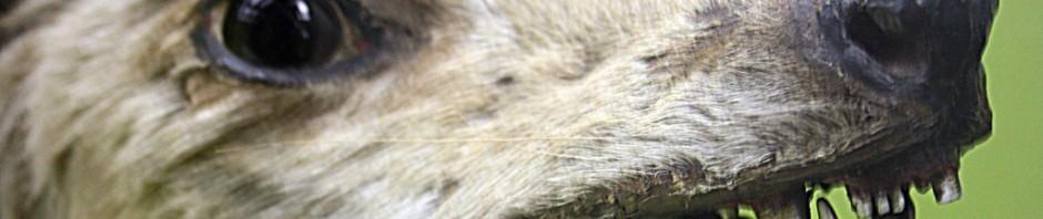 Сумчатый волк или тилацин (лат. Thylacinus cynосерhalus)