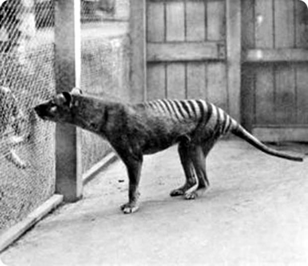 Сумчатый волк или тилацин (лат. Thylacinus cynосерhalus) (англ. Tasmanian Tiger)