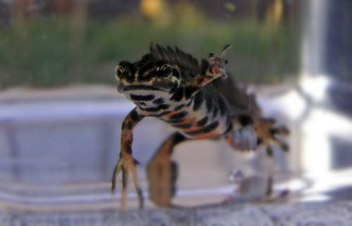 Гребенчатый тритон (лат. Triturus cristatus) (англ. Great Crested Newt)