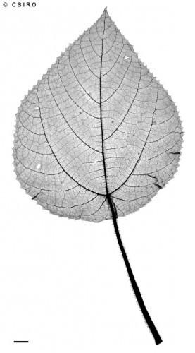 Жалящее дерево (лат. Dendrocnide moroides) (англ. Stinging tree)