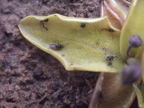 Жирянка обыкновенная (лат. Pinguícula vulgaris)