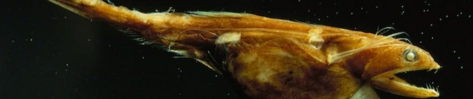 Черный живоглот или хиазмодон (лат. Chiasmodon niger)
