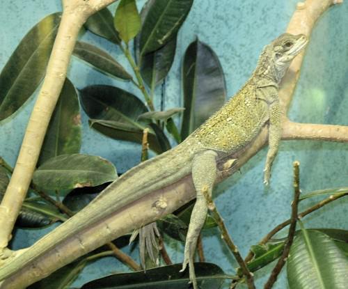 Парусная ящерица (лат. Hydrosaurus amboinensis) (англ. Amboina Sail Finned Lizard or Amboina Sailfin Lizard)